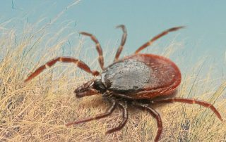 Lyme Disease, Tick Bites